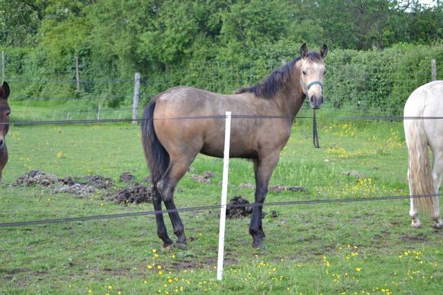 poulain  1 an quarter horse X pur sang lusitanien isabelle papiers OC Dsc_0015
