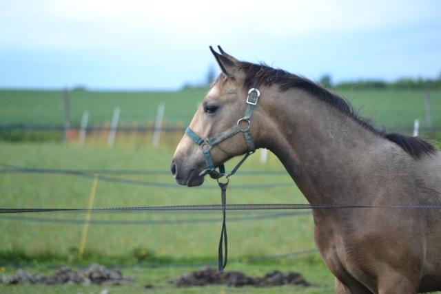 poulain  1 an quarter horse X pur sang lusitanien isabelle papiers OC Dsc_0016