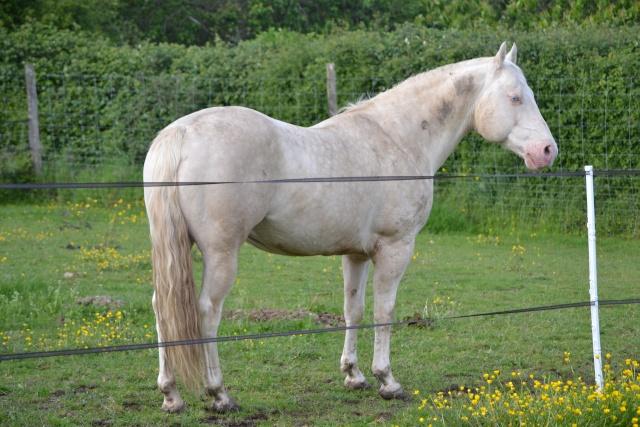 poulain  1 an quarter horse X pur sang lusitanien isabelle papiers OC Dsc_0018