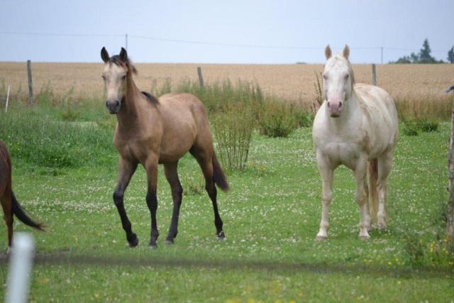 poulain  1 an quarter horse X pur sang lusitanien isabelle papiers OC Dsc_1310