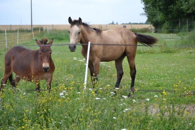 poulain  1 an quarter horse X pur sang lusitanien isabelle papiers OC Dsc_1410