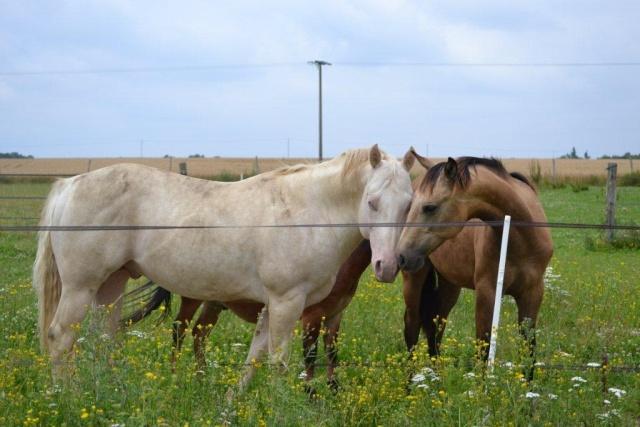 poulain  1 an quarter horse X pur sang lusitanien isabelle papiers OC Dsc_1411