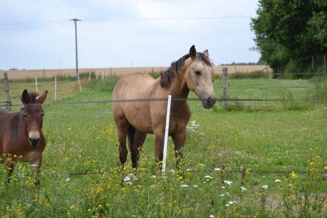 poulain  1 an quarter horse X pur sang lusitanien isabelle papiers OC Dsc_1412