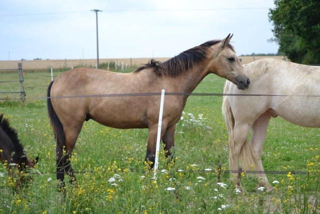 poulain  1 an quarter horse X pur sang lusitanien isabelle papiers OC Dsc_1413