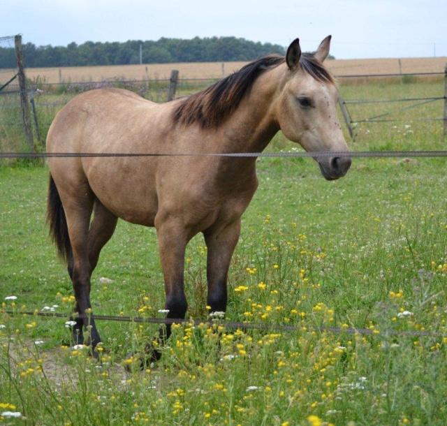 poulain  1 an quarter horse X pur sang lusitanien isabelle papiers OC Dsc_1414