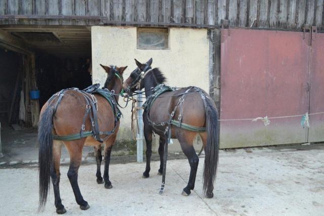Mon projet d'attelage à 4 mules pas à pas ... Dsc_2811