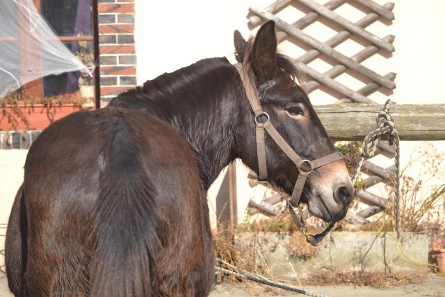Mon projet d'attelage à 4 mules pas à pas ... Dsc_2813