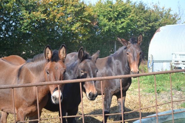 Mon projet d'attelage à 4 mules pas à pas ... Dsc_2910