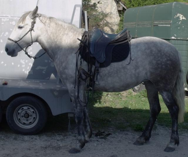 poulain  1 an quarter horse X pur sang lusitanien isabelle papiers OC Dscf3810