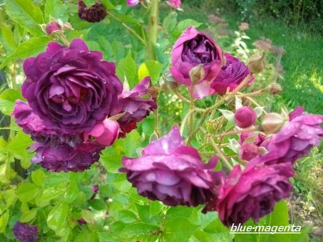 Rosa 'Blue Magenta'  - Page 3 1er_ju28