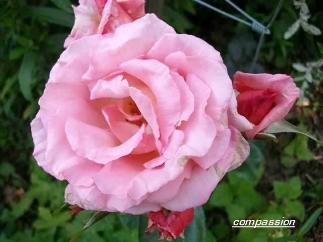 Rosa Compassion  - Page 2 1er_ju31