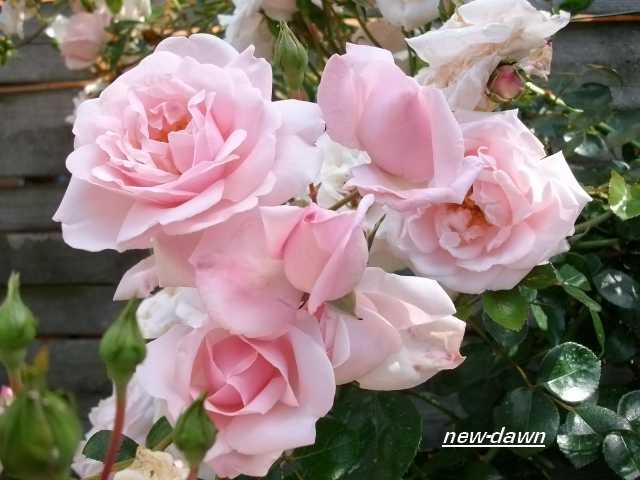 Rosa 'New Dawn' !!! - Page 3 1er_ju32