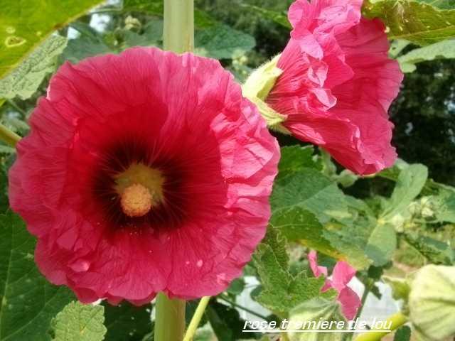 Les roses trémières (Alcea rosea) Juill145
