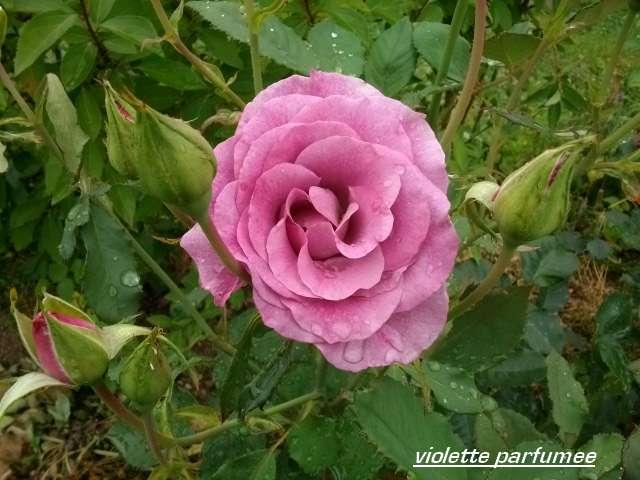 Rosa 'Violette Parfumée !!! - Page 2 Juill169