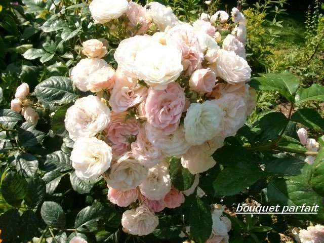 Rosa 'Bouquet Parfait' !!! - Page 4 Juille43