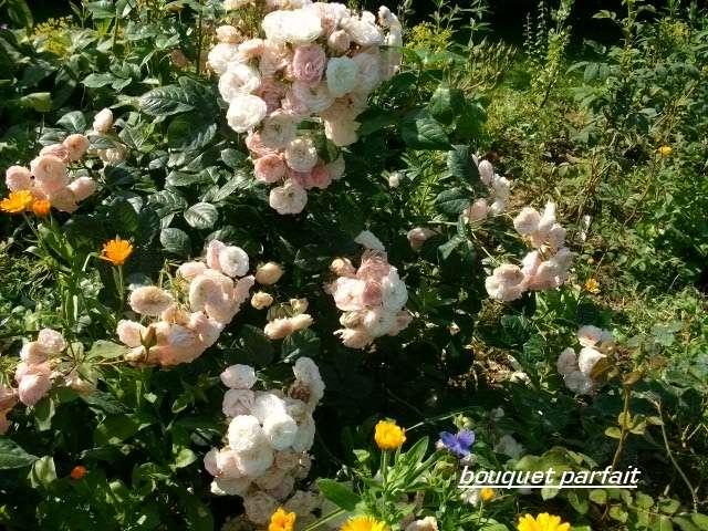 Rosa 'Bouquet Parfait' !!! - Page 4 Juille44