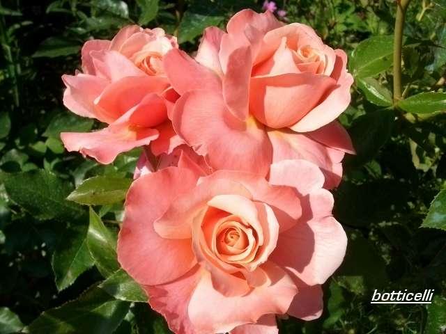 Rosa 'Botticelli' Juille49