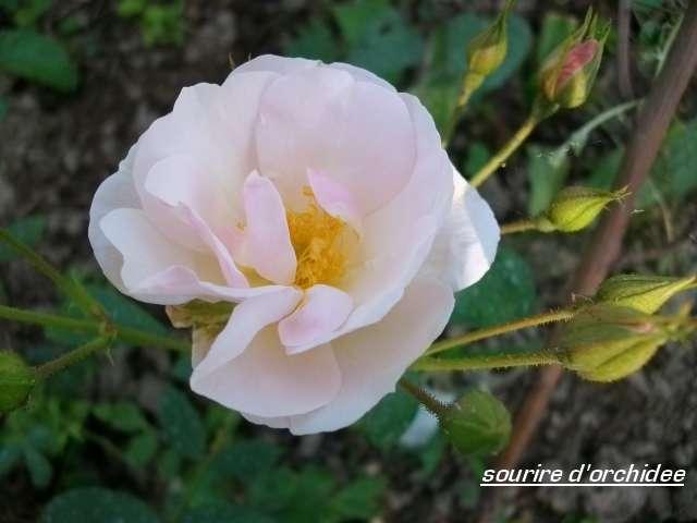 'Sourire d'Orchidée' !!! Juille68