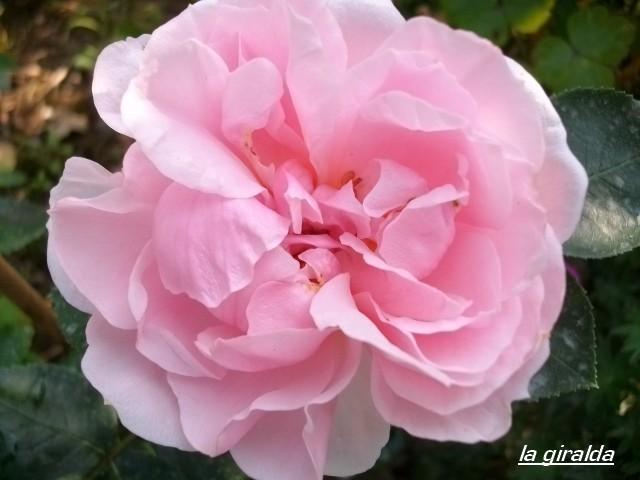 Rosa La Giralda  Juille95
