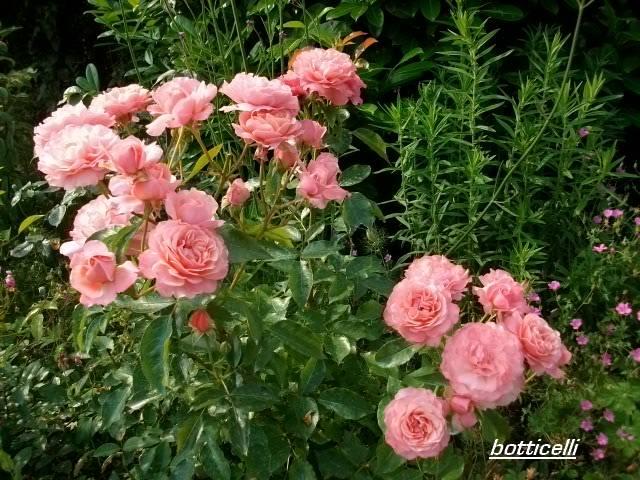 Rosa 'Botticelli' Juille97