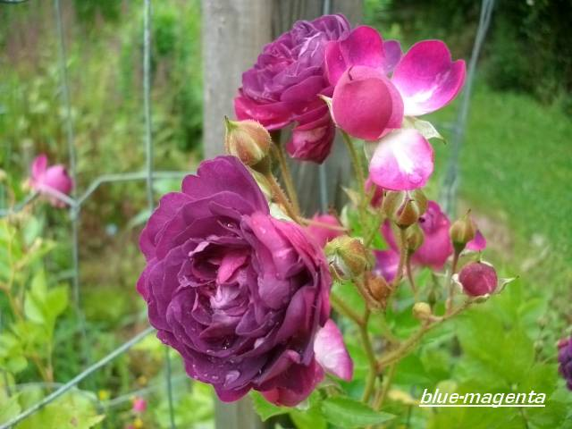 Rosa 'Blue Magenta'  - Page 2 Juin_012