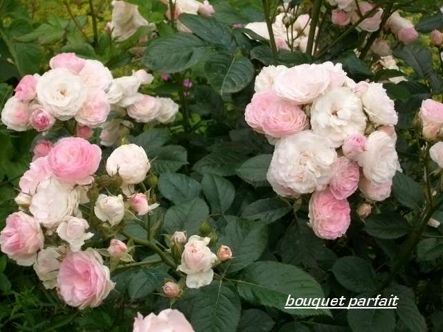 Rosa 'Bouquet Parfait' !!! - Page 3 Juin_015