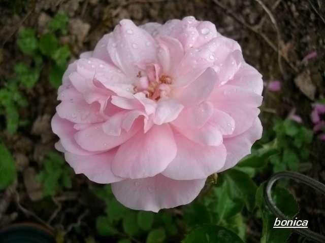 Rosa 'Bonica' !!! - Page 2 Juin_023