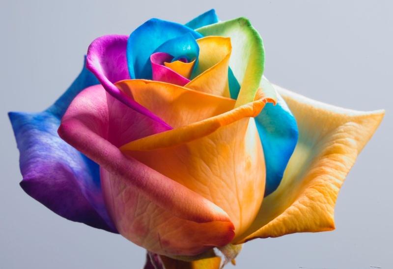 Joyeux anniversaire Marinella  Rose-a10