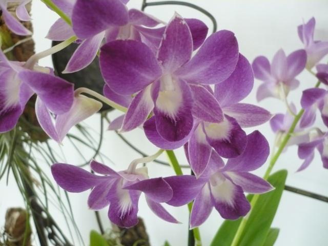 Le genre Dendrobium P1060518