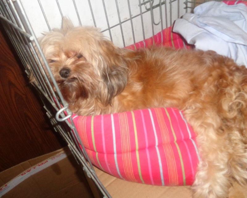 COOKIE, femelle croisée shitsu handicapée née en 2010 - adoptée par Chantal (dpt 83) Cookie11