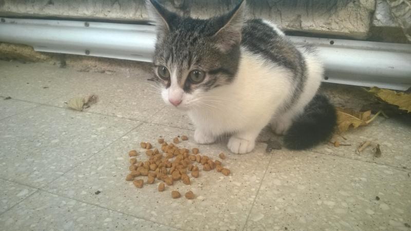 CACAHUETE, chaton mâle né env août 2014 - adopté par Zab's (10) Wp_20124