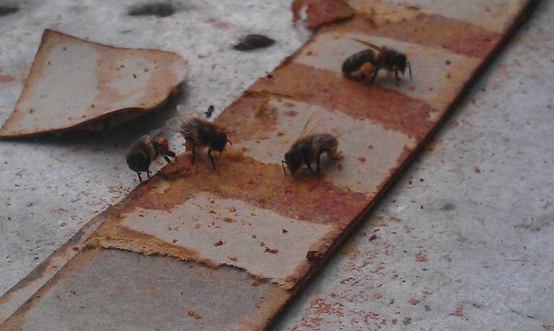 abeilles qui recuperent propolis sur les lamelles Thymol extraite des ruches Imag1020