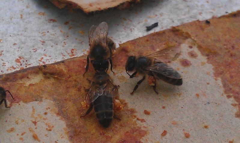 abeilles qui recuperent propolis sur les lamelles Thymol extraite des ruches Imag1021