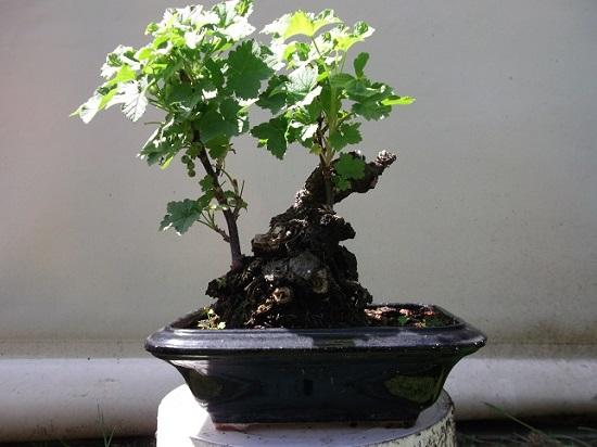 Quelques bonsaï et pré-bonsaï Dscf0112