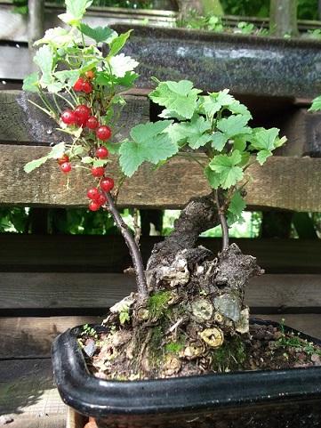 Quelques bonsaï et pré-bonsaï Dscf0511