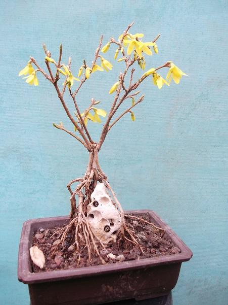 Quelques bonsaï et pré-bonsaï Dscf3612