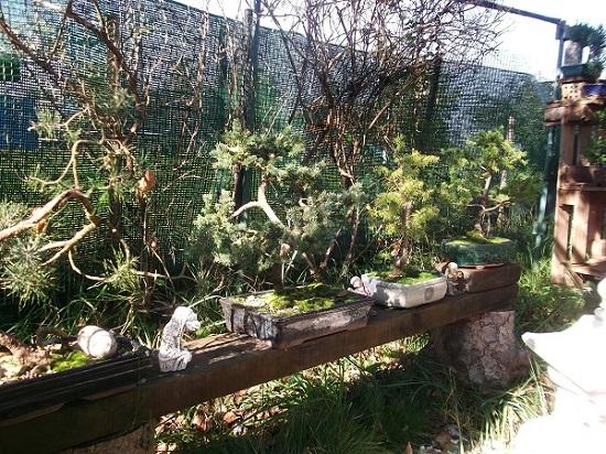 Quelques bonsaï et pré-bonsaï Dscf4830