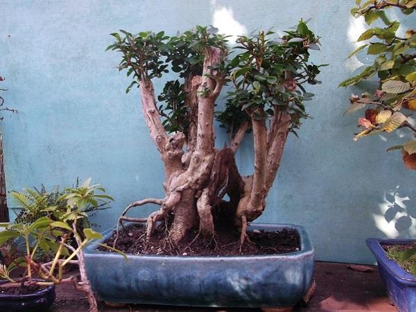 Quelques bonsaï et pré-bonsaï Dscf4831