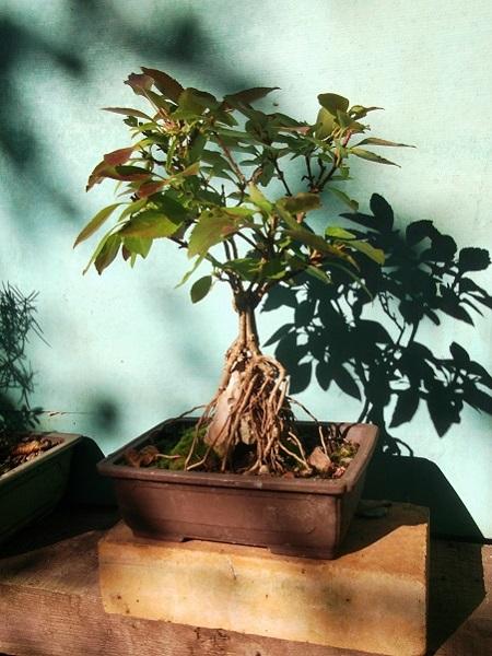 Quelques bonsaï et pré-bonsaï Dscf4832