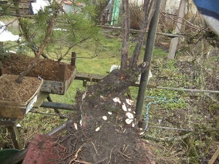 Quelques bonsaï et pré-bonsaï Motte_10