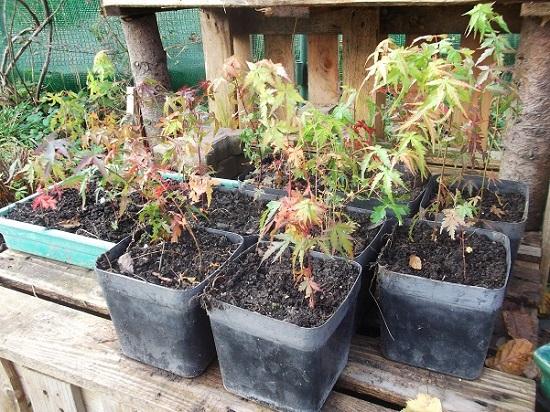 Bouture d'Acer Palmatum Nov_2011