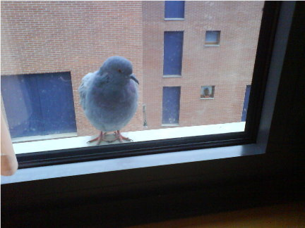 The feral pigeons at my window... Dakry_10