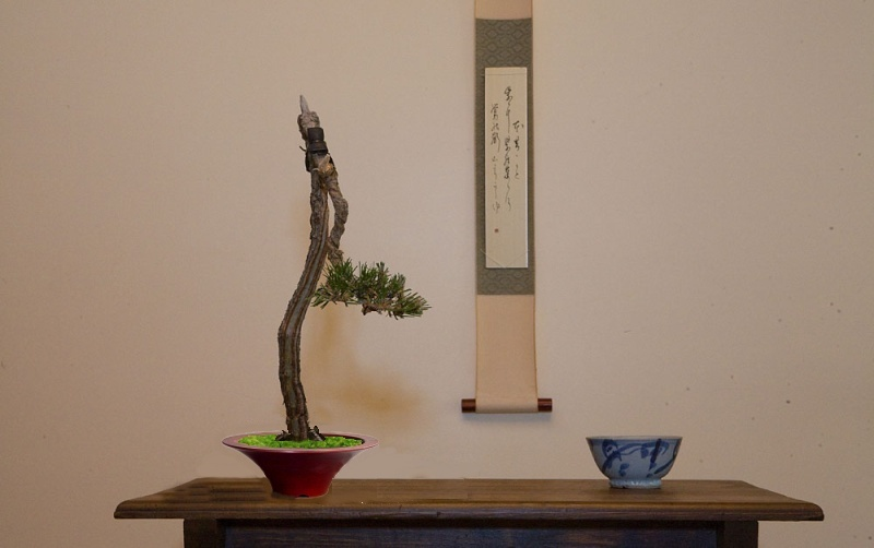 Literati Black Pine from Australia Image_10