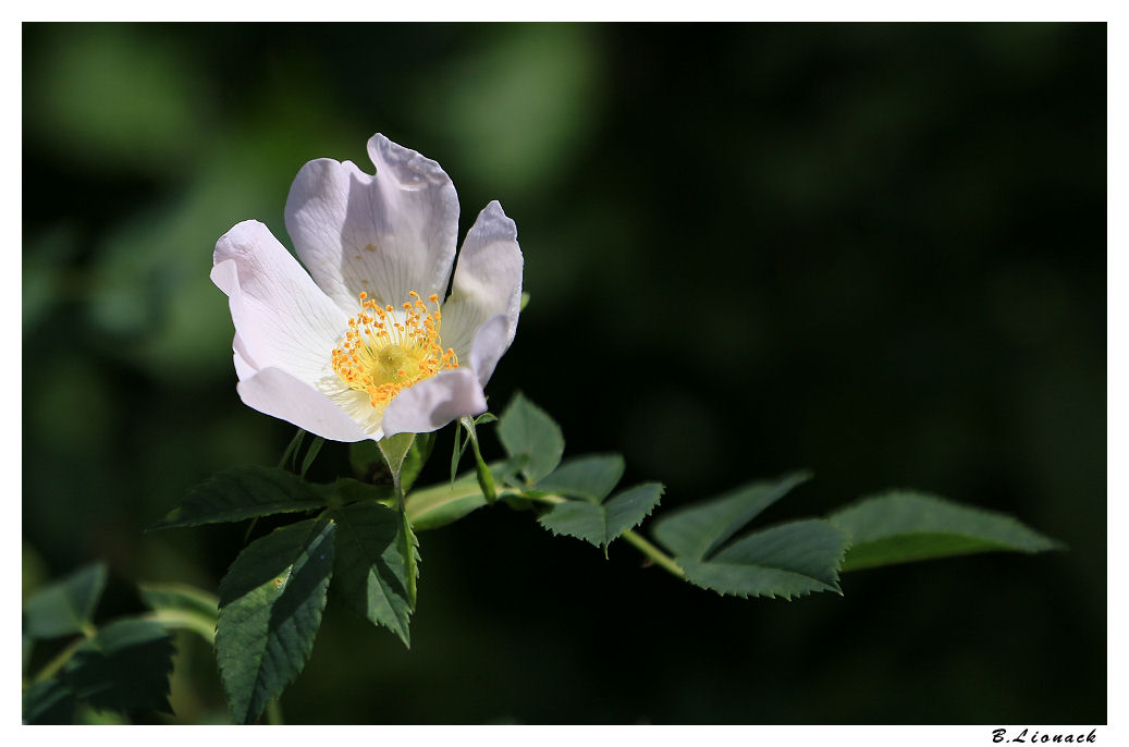 Rosa arvensis Eglant11