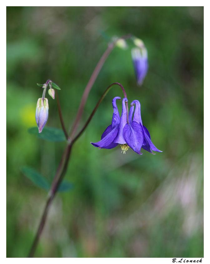 Ancolie Fleur017