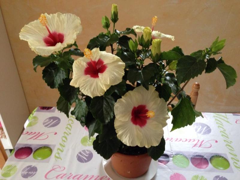 aide entretien d'un hibisqs longiflora 10363010