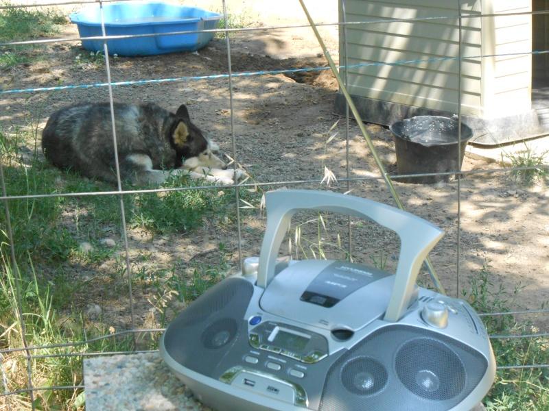 Togo, husky gris né le 25 Octobre 2002 ASSO39 - Page 2 Dscn1518