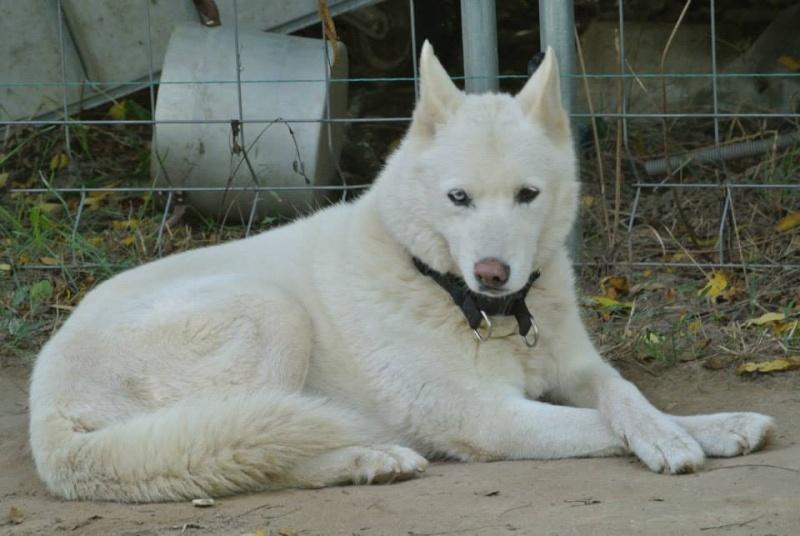 Orca, Husky, âgée de 14 ans née 20 Décembre 2000,  Eden Valley  ASSO39 - Page 5 Orka_p11