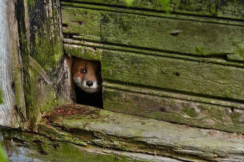 le loup, le renard et la belette 10431510