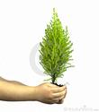arbre et naissance Le-cyp10
